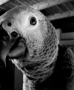 parrot vintage