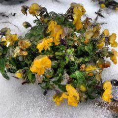 flower snow winter frozen ice