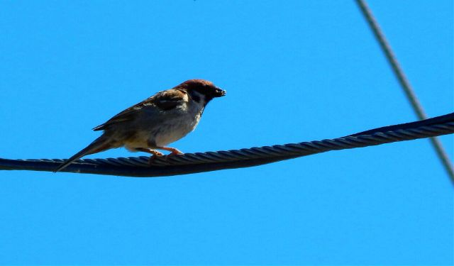 pictures of sparrows